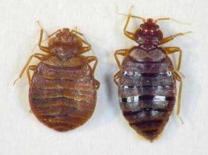 https://pendekars.files.wordpress.com/2010/11/bed-bugs.jpg?w=300