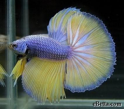 Ikan Cupang: Petarung Paling Cantik « Pendekar Blog